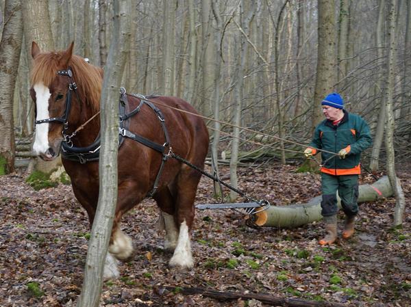 Im Lübecker Stadtwald fällen Forstarbeiter die Bäume mit der Motorsäge. Große Stämme werden mit Schlepper und Seilwinde herausgezogen, kleinere von Pferden.