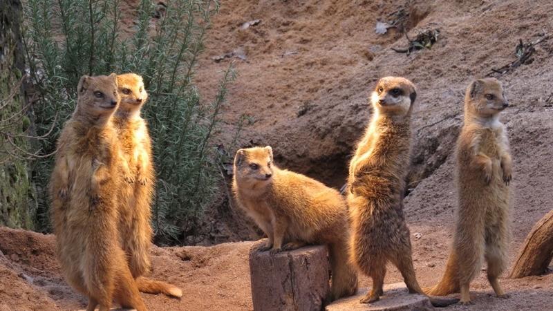 Nanu? Auf wen warten diese Erdmännchen und Fuchslangusten denn so gespannt? Bahnt sich heute hoher Besuch an oder ist einfach nur Zeit fürs Mittagessen... Wir wissen es nicht.