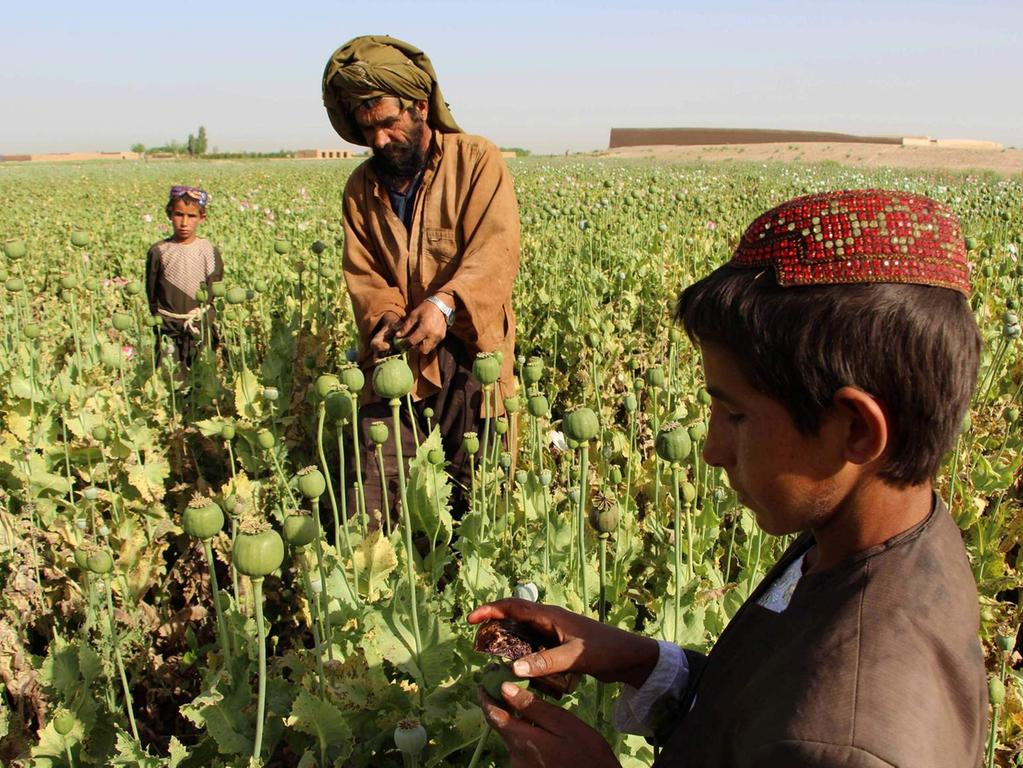 (FILES) This file photo taken on April 11, 2017 shows Afghan farmers harvesting opium sap from a poppy field in the Gereshk district of Helmand..The Taliban -- which banned poppy cultivation when it ruled Afghanistan -- now appears to wield significant control over the war-torn country's heroin production line, providing insurgents with billions of dollars, officials have told AFP. / AFP PHOTO / NOOR MOHAMMAD / TO GO WITH Afghanistan-unrest-drugs-Taliban,FOCUS BY ANNE CHAON