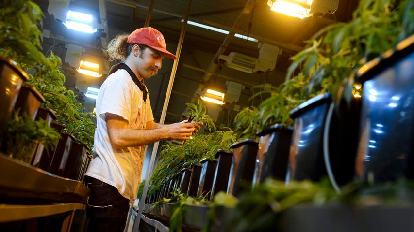 ...von der deutschen Polizei laut Bericht der Drogenbeauftragten 5,4 Tonnen Cannabis sichergestellt, wobei es sich um 3,85 Tonnen Marihuana und 1,59 Tonnen Haschisch gehandelt hat. Außerdem wurden 913 Plantagen ausgehoben und insgesamt 154.621 Cannabispflanzen (17,3 Prozent mehr als im Jahr 2014) sichergestellt. Besonders bei jungen Menschen steht das Kiffen hoch im Kurs. Die Drogenaffinitätsstudie der Bundeszentrale für gesundheitliche Aufklärung hat den Cannabiskonsum bei jungen Leuten untersucht und dabei unterschieden zwischen 12- bis 17-Jährigen und 18- bis 25-Jährigen.