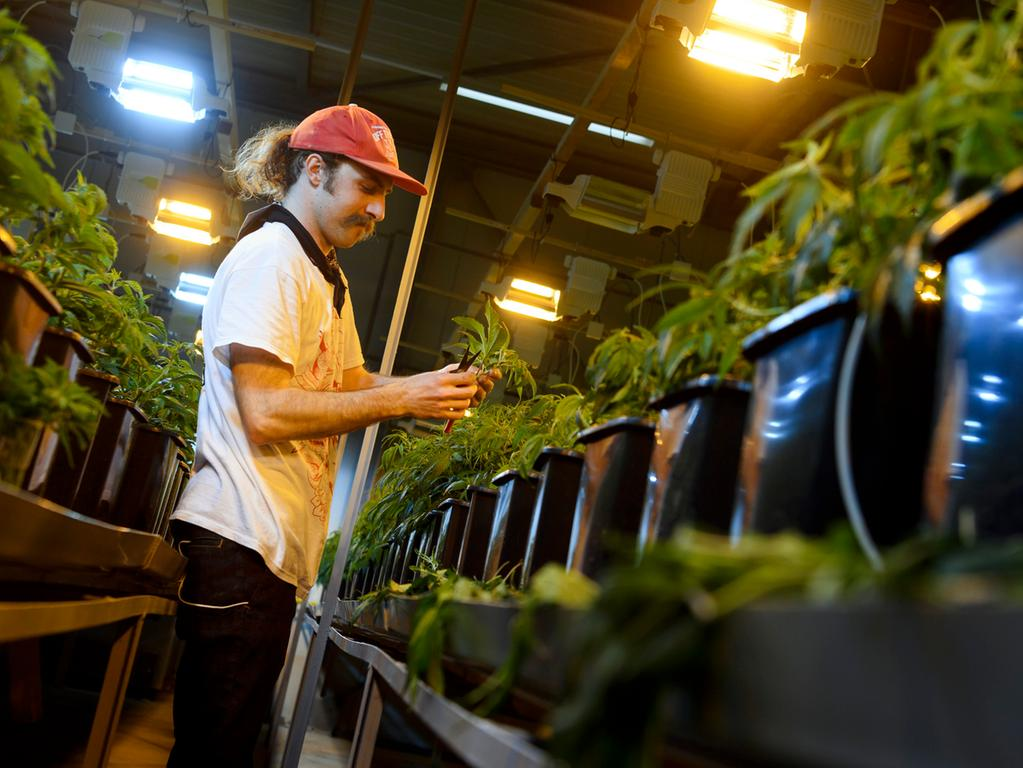 This picture taken on March 16, 2017 shows a employee collecting legal cannabis plants in the greenhouse of Switzerland's cannabis producer KannaSwiss in Koelliken......The company procudes high cannabidiol (CBD) content cannabis with THC (psychoactive component) content below the Swiss legal limit. KannaSwiss sell medicinal oil and flowers to smoke.. / AFP PHOTO / Fabrice COFFRINI