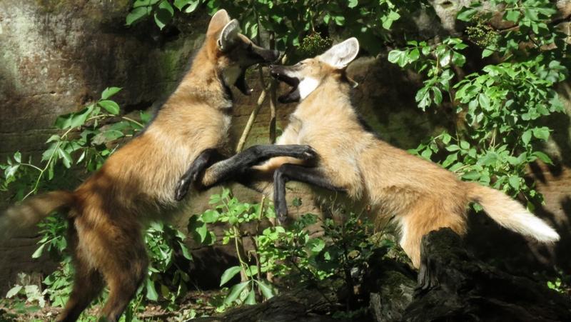 Diese beiden jungen Mähnenwölfe scheinen eine Meinungsverschiedenheit auszutragen. Oder den beiden ist langweilig und sich kabbeln sich zum Spaß. Wie auch immer - definitiv ein schönes Bild der beiden jungen südamerikanischen Wildhunde!