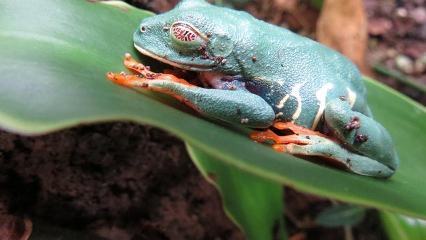 Der Rotaugenlaubfrosch ist wirklich ein außergewöhnliches Exemplar. Mit seinen roten Augen wirkt er fast schon furchterregend.