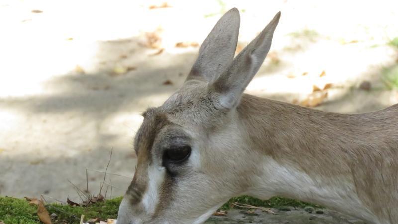Die Kropfgazelle bekam ihren Namen aufgrund des ausgeprägten Kehlkopfs. Dem verdanken die Männchen auch, dass sie besonders laute Brunftrufe von sich geben können.