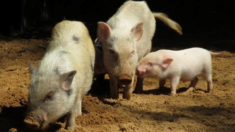 An diesem goldenen Herbsttag genießen auch die Forsthofer Minipigs das angenehme Wetter. Die Minischweine, die eine Schulterhöhe von nur 30 Zentimeter und ein Gewicht von zwölf Kilogramm erreichen, weisen unterschiedliche Färbungen auf. Sie sind seit Februar im Nürnberger Tiergarten zu sehen.