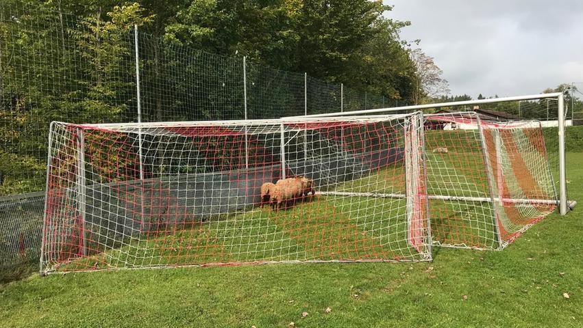 Einen gesamten Vormittag im September 2017 hielten zwei ausgebüxte Schafherden die Coburger Polizei in Atem. Erst musste ein Jungtier aus dem Zaun befreit, dann eine weitere Herde auf dem Fußballplatz eingefangen werden. Mithilfe der Tore, die auf dem Rasen standen, konnten die Beamten die Schafe letzten Endes festsetzen.