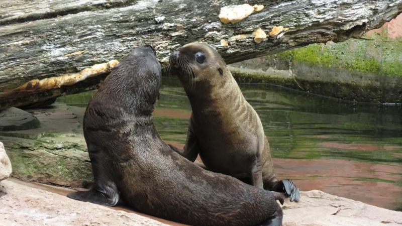 Diese jungen Seelöwen genießen die Zweisamkeit. Zusammen ist man weniger allein, vor allem der Spaß kommt bei den beiden nicht zu knapp.
