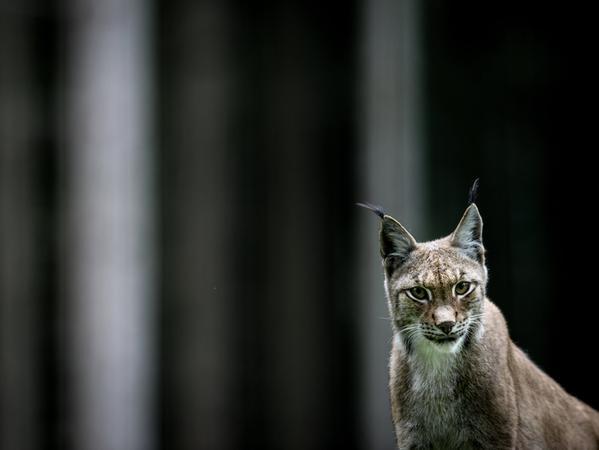 Ein Eurasischer Luchs (lat. Lynx lynx) sitzt am 10.09.2013 in seinem Gehege im Wildpark Hundshaupten (Bayern) im Landkreis Forchheim. Foto: David Ebener/dpa +++(c) dpa - Bildfunk+++