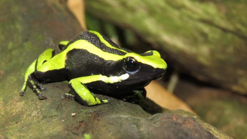 Diese leuchtenden Farben trügen: Der Grüne Riesengiftfrosch zählt zu den giftigen Vertretern der Amphibienwelt.