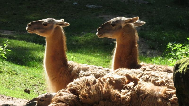 Auch die Damenschaft der Guanakos genießt die sonnigen Mittagsstunden. Ursprünglich leben sie hoch oben in den Anden.