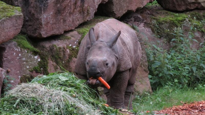 Das Panzernashorn Sanjai lässt sich seine Mahlzeit aus Karotten und anderem gesunden Grünzeug im Tiergarten ordentlich schmecken.