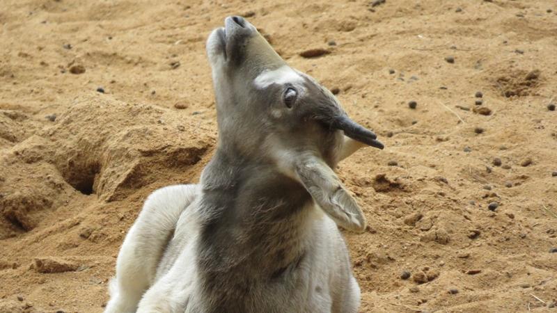 Nanu, was hat denn dieses Mendesantilopen-Kälbchen da am Himmel gesichtet, dass es den Blick so überrascht nach oben richtet?