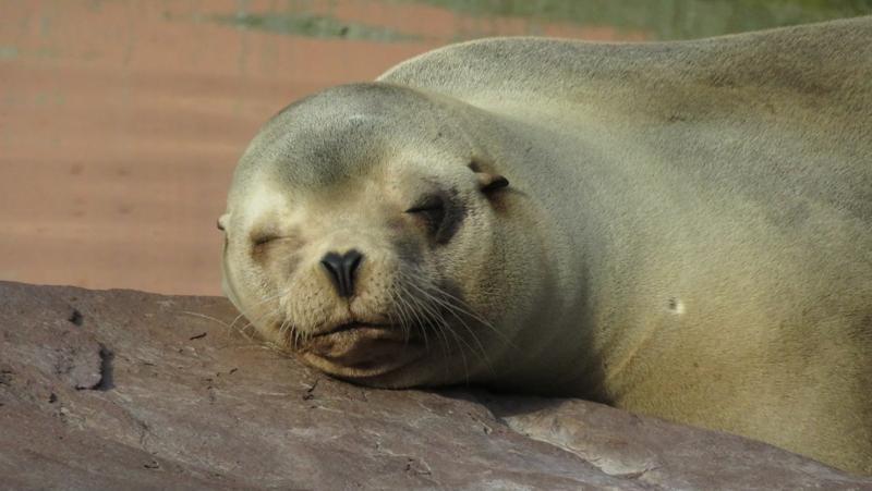 Ach, so ein Mittagsschläfchen in der Sonne wäre jetzt genau das Richtige! Der Seelöwe aus Kalifornien scheint seine kleine Pause auf jeden Fall sichtlich zu genießen.
