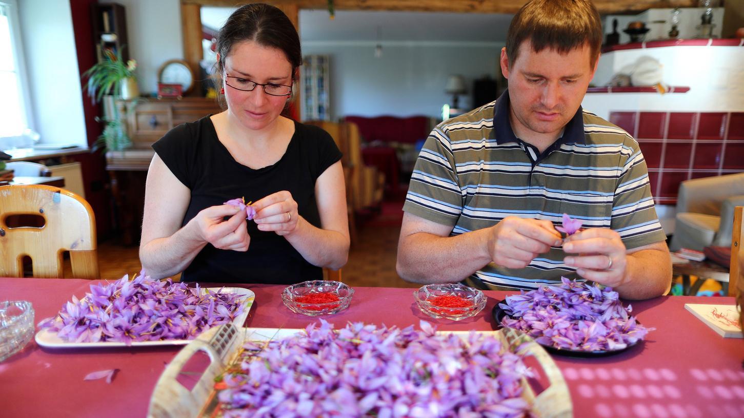 Jean Fréderic Waldmeyer und seine Frau Christina zupfen im Oktober von den in Feuchtwangen frisch geernteten Safrankrokussen die Blüten (Narben).