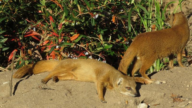 Ein letztes Mal das tolle Herbstwetter genießen, bevor es am Wochenende wieder abkühlt: Das denkt sich bestimmt auch die entspannte Fuchsmanguste auf dem Foto.