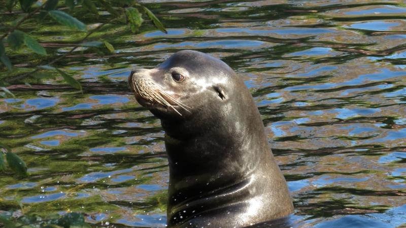 Kalifornischer Seelöwe Salomon im Aqua-Park