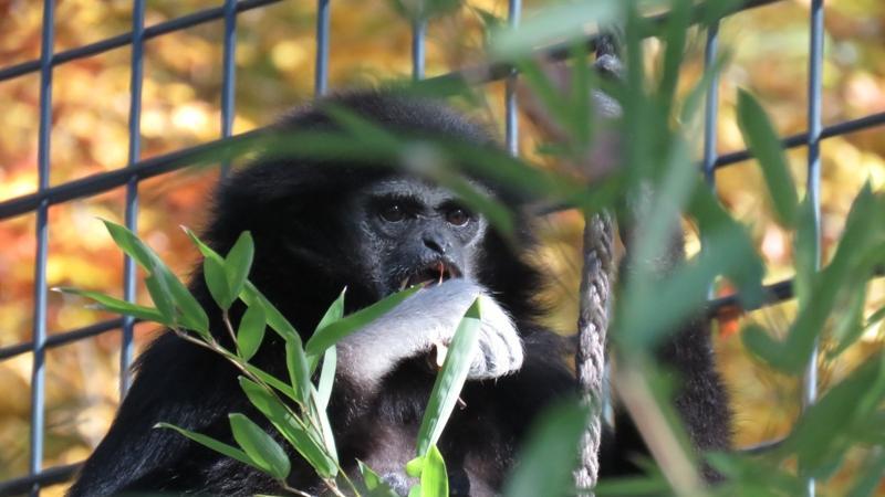 Dieser Weisshandgibbon genießt wie viele andere im Zoo sein verdientes Mittagessen.