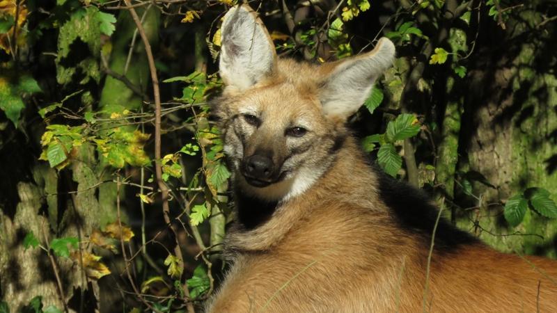 Ist es ein Fuchs? Oder ein Hund? Nein, hier lässt es sich ein Mähnenwolf in der Sonne gut gehen.