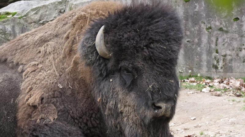 Da könnte man glatt neidisch werden: Bei diesen Temperaturen wird dem Bison mit seinem dichten Fell bestimmt nicht kalt.