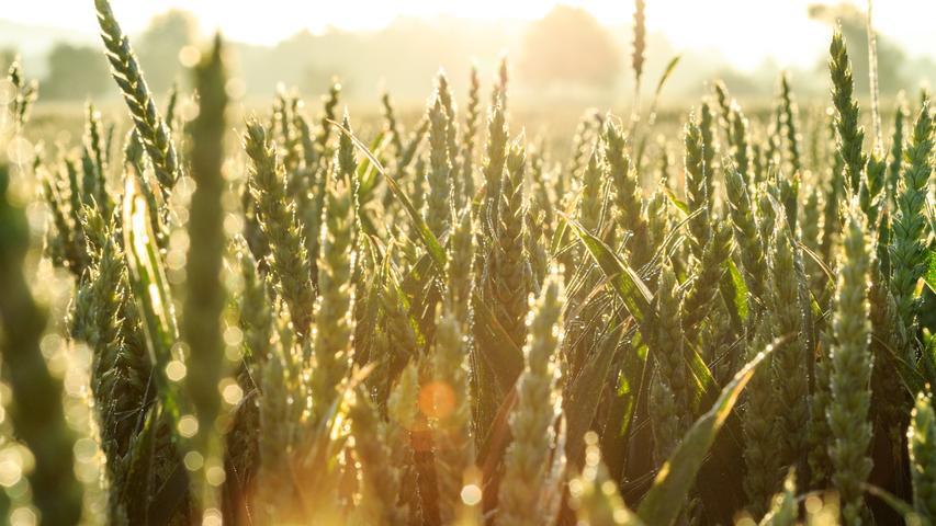 Die Vegetationsperiode dehnt sich deutlich aus, seit 1961 hat sie sich in Bayern schon um 26 Tage verlängert. Der Frühling setzt immer früher ein. Dadurch steigt auch die Gefahr von massiven Ernteausfällen durch Spätfröste, die in diesem Jahr einen Großteil der bayerischen Apfelernte vernichtet haben. Die Pflanzen werden zudem vermehrt unter Hitze- und Trockenstress leiden. Besonders empfindlich ist zum Beispiel der Winterweizen. Deshalb müssen künftig verstärkt tiefer wurzelnde, hitzeresistente Pflanzen gezüchtet werden.