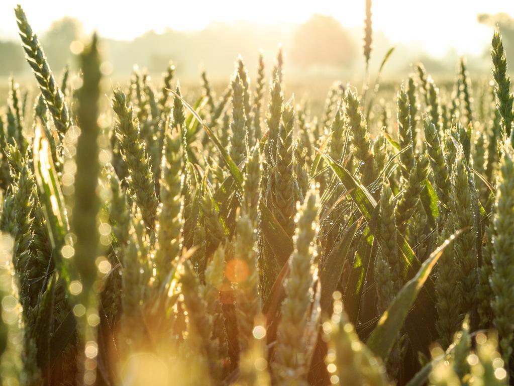 Die Sonne scheint am 27.06.2017 in Hamburg auf ein Weizenfeld. Dieser Weizen muss noch ein paar Wochen reifen. ACHTUNG: Dieses Bild hat dpa bereits im Bildfunk gesendet. Foto: Sina Schuldt//dpa +++(c) dpa - Nachrichten für Kinder+++ | Verwendung weltweit