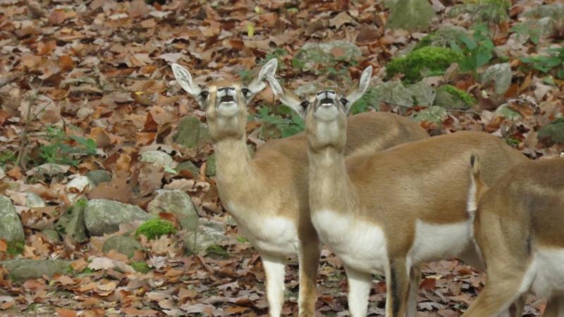 Tierisches Staunen im Gehege der Hirschziegenantilopen. Was sie genau zwischen Wolken und Baumwipfeln erspäht haben, konnten sie leider nicht mitteilen.