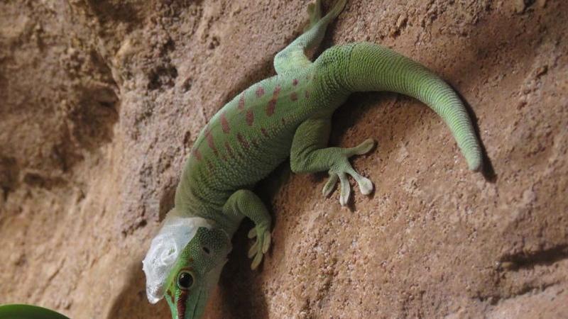 Dieser Taggecko, der in Madagaskar beheimatet sind, häutet sich gerade. Zum Glück hat er ein warmes Terrarium, denn draußen wäre es dafür momentan wohl viel zu kalt.