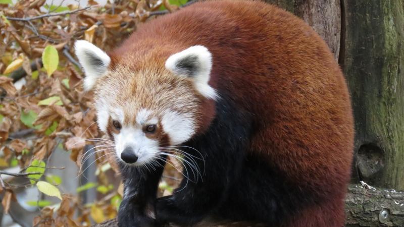 Im Herbstlaub ist das kuschelige Pandaweibchen im Tiergarten hervorragend getarnt.