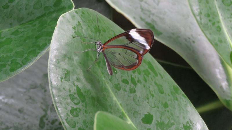 Dieser Glasflügler trägt seinen Namen offensichtlich zurecht. Bis auf die Ränder sind seine Flügel völlig durchsichtig. Hauptsächlich kommt dieser Schmetterling in tropischen und subtropischen Regenwäldern vor.