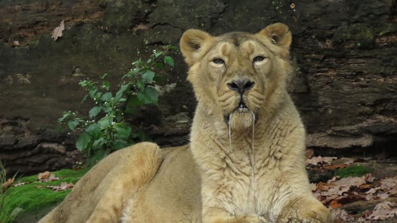 Diese asiatische Löwin denkt mit Sicherheit gerade ans Mittagessen:
