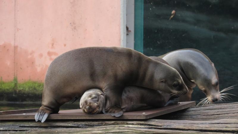 Im Aquapark gibt es Nachwuchs! Bei dieser Eiseskälte wird auch bei den kalifornischen Seelöwen ausgiebig mit den Kleinen gekuschelt.