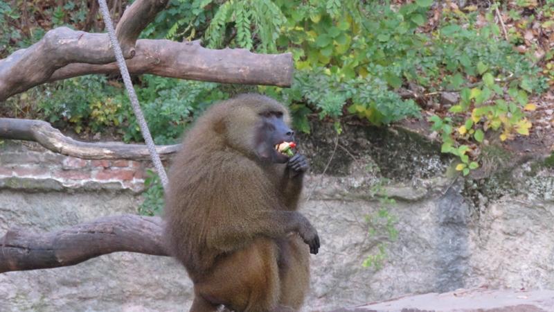 Dieser Sphinx-Pavian gönnt sich gerade eine Paprikaschote. Ob der Nürnberger Tiergarten wohl am Sonntag ein Festmahl für ihn bereithält?
