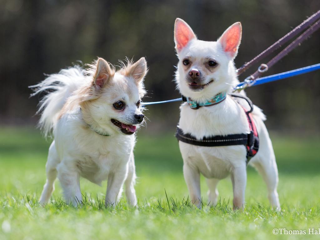 Chihuahuas suchen ein neues Zuhause