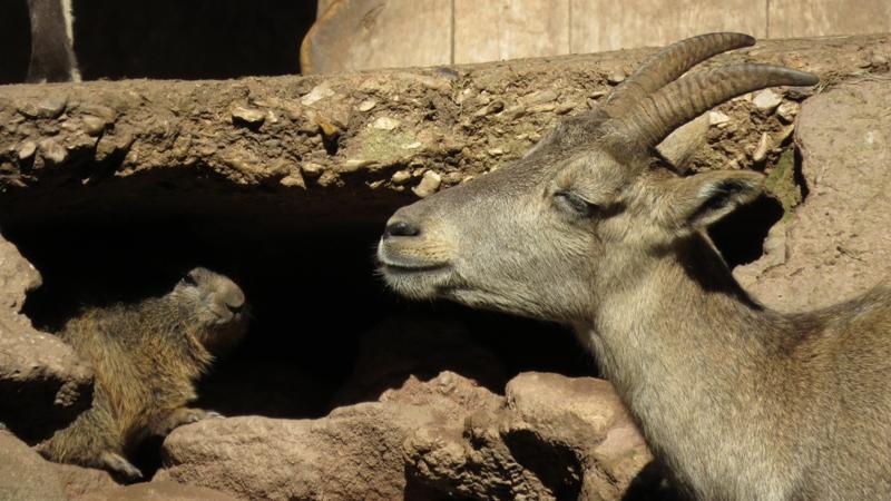 Im Tiergarten sagen sich buchstäblich Alpenmurmeltier und Steinbock