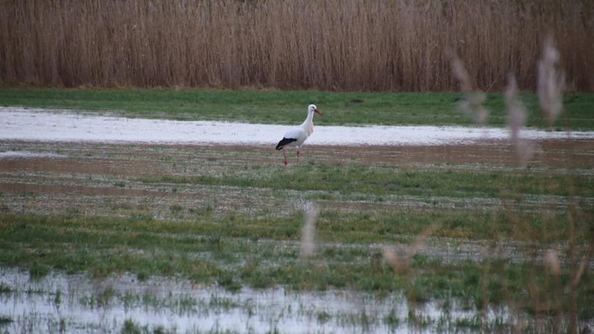 Dem Storch kann's recht sein, der hat ganz gern nasse Füße. Hier auf den überschwemmten Rezatauen bei Weißenburg.