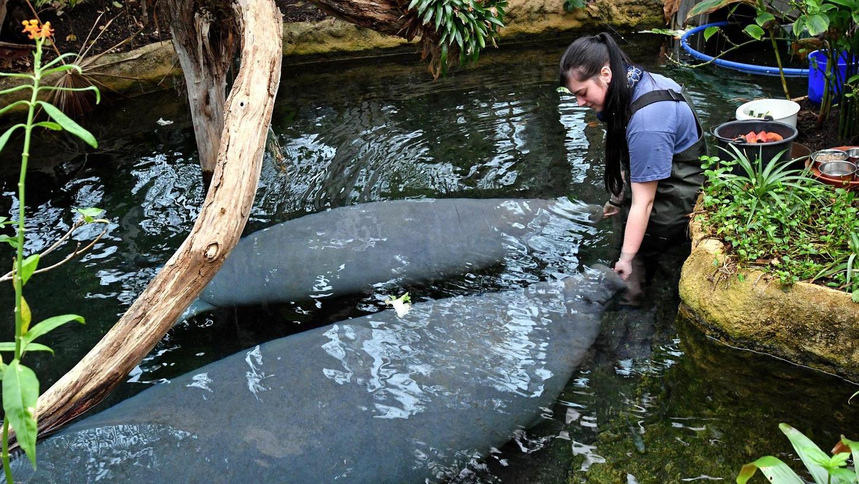 Die Seekühe leben im Nürnberger Manatihaus in einer nachgebildeten Amazonaslandschaft - beste Zuchtbedingungen also. Nur bei der Partnerwahl hatte der Zoo das falsche Händchen.