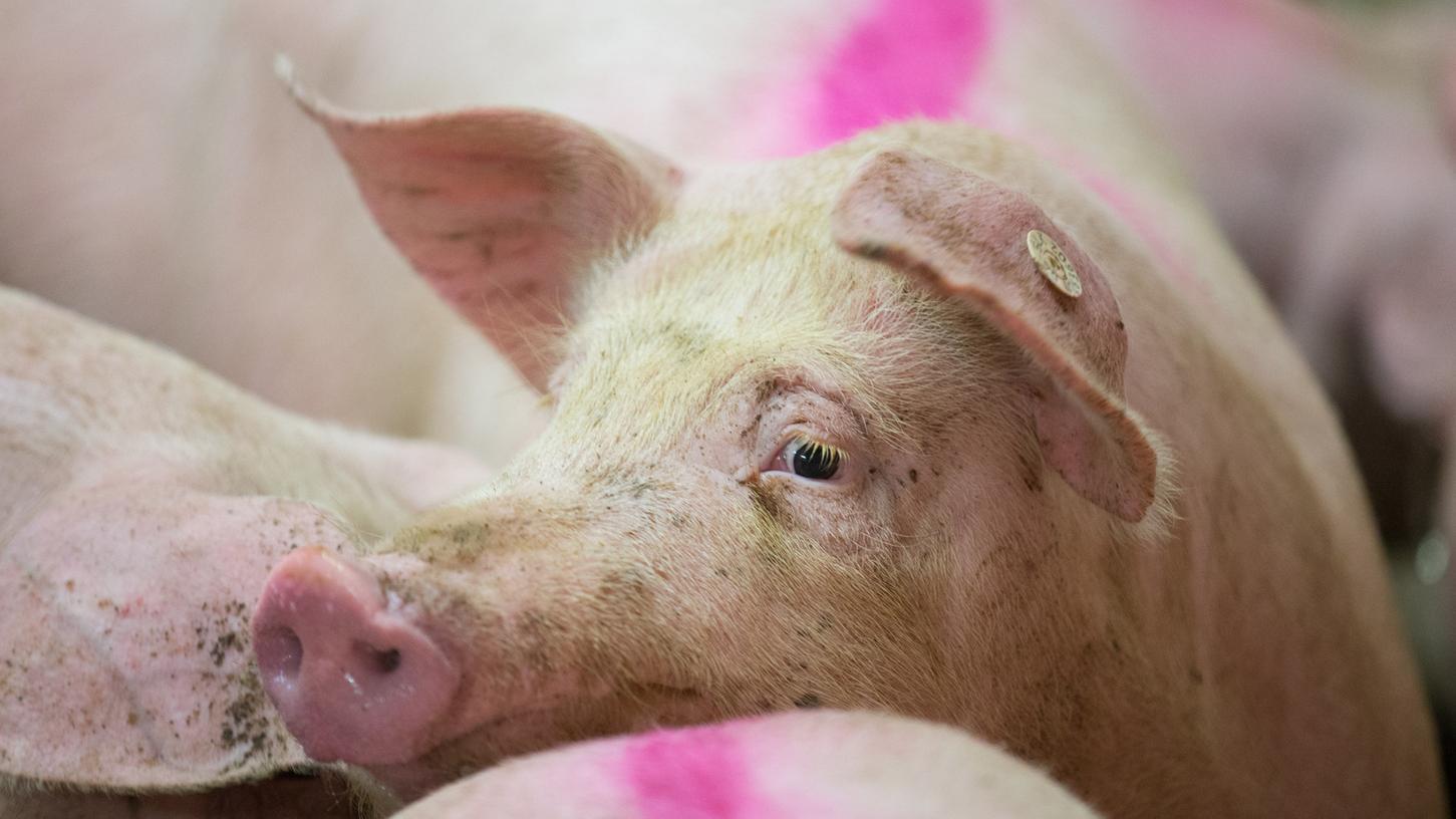 Das arme Schwein, um welches in dem Fall ging, war völlig abgemagert in einem Stall gefunden worden. (Symbolbild)
