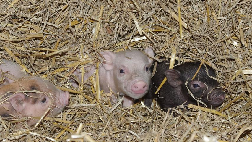 Im Februar 2018 wurden ein paar zuckersüße Minischweine geboren. Die süßen Ferkel werden im englischen Sprachraum auch als