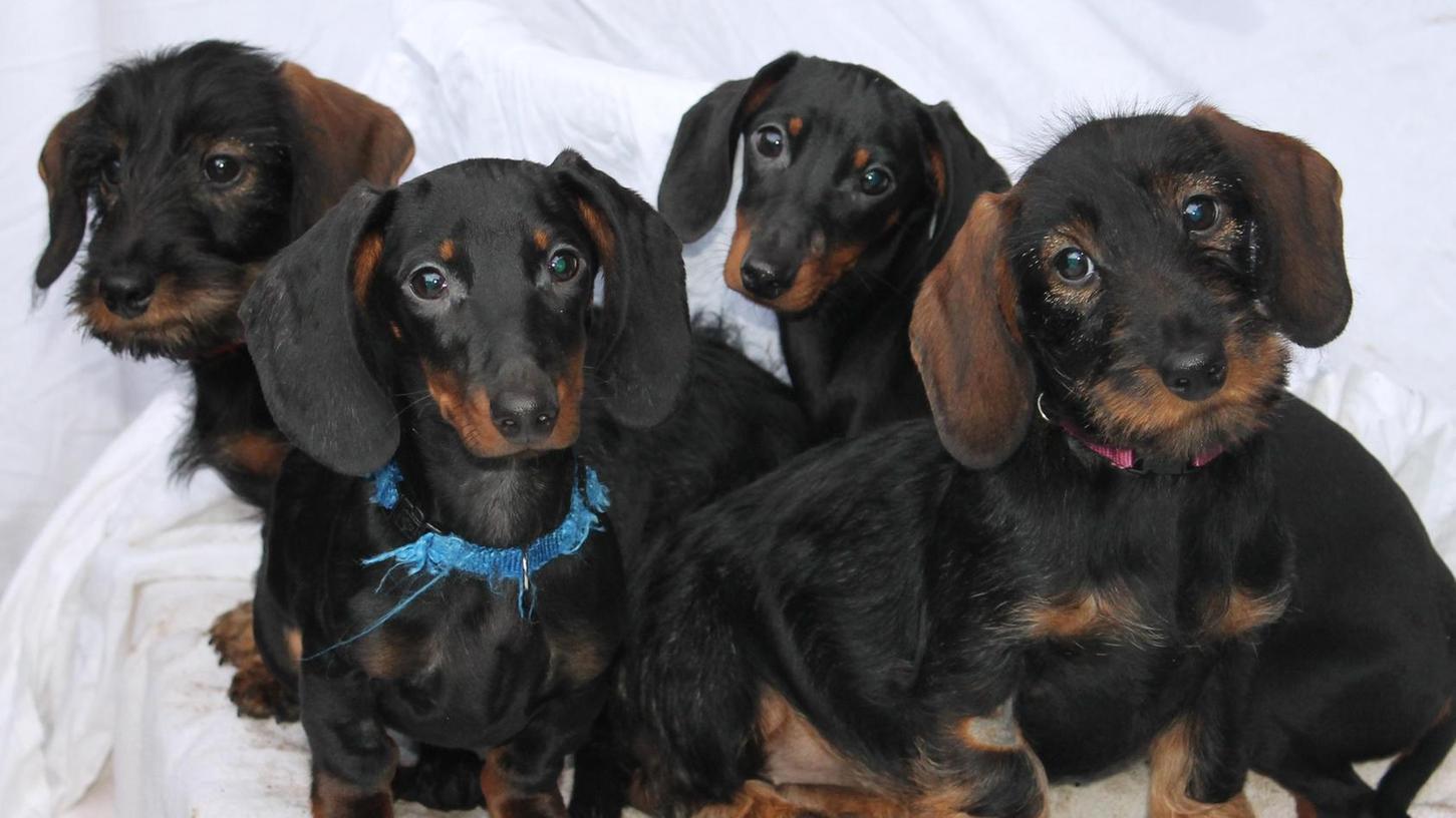 Vier von zehn Hundewelpen, die das Tierheim Erlangen seit Dezember versorgt. Jetzt braucht es Unterstützung.