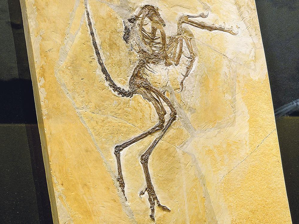 """Archaeopteryx Nummer 6: Das sogenannte Solnhofener Exemplar ist das bis dato größte Urvogelexemplar des """"Archäopteryx lithographica"""" und gehört der Gemeinde."""