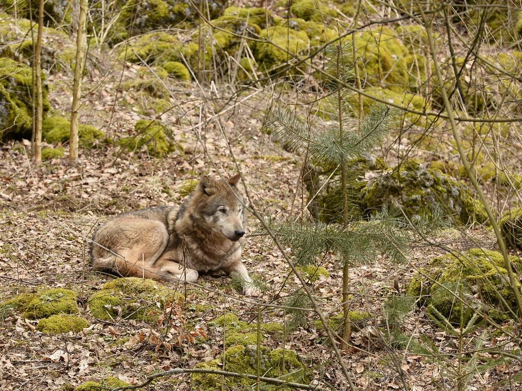 Da wo sich Luchs, Hängebauchschwein, Zwergziege und Co. guten Tag sagen: Der Wildpark Hundshaupten bei Egloffstein in der Fränkischen Schweiz läutet den Frühling ein.