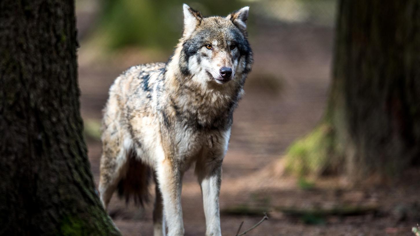 Nun wurde wohl auch im Landkreis Fürth ein erster Wolf gesichtet: Eine Wildkamera fotografierte das Jungtier am Dillenberg.