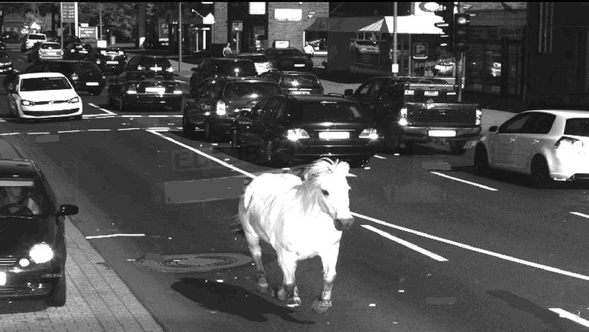 Das Pferd war von der Koppel ausgebüxt. Blöd nur, dass es promt in einen Blitzer lief und fotografiert wurde. Die Polizei fing das Pferd unverletzt wieder ein - aber eins muss man dem Schimmel lassen: Auf einem schwarz-weiß Foto macht dieser echt Eindruck.