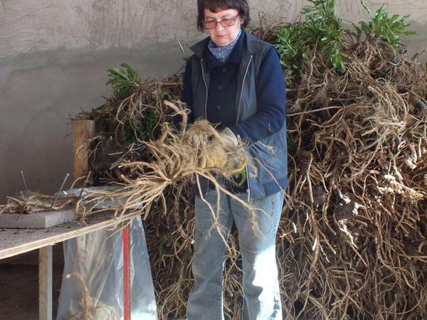Mit einem speziellen Roder werden die Meerrettich-Stangen geerntet (Foto links). Mittleres Foto: Die würzigen Stangen werden mit dem Gabelstapler transportiert. Das rechte Bild zeigt Marga Schmidt beim Vorbereiten der Pflanzen.