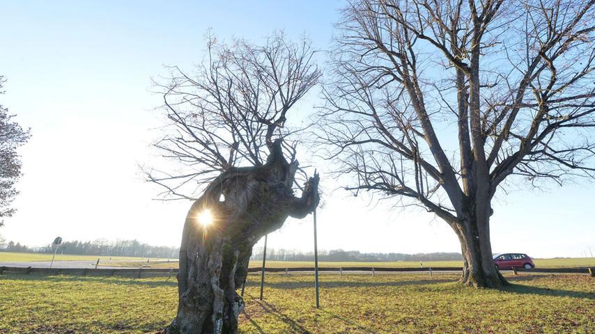 Die Kasberger Linde in Gräfenberg. Sinnbild ihrer Größe war früher die Tatsache, dass ein Reiter samt Pferd im Hohlraum ihres Stammes wenden konnte. Noch Ende der 1980er Jahre betrug ihr Stammumfang stolze 11,20 Meter.