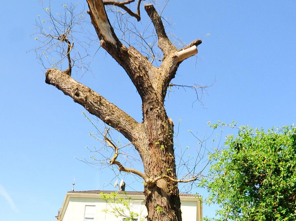 Forchheim..Japanischer Schnurbaum..Klosterstraße..Foto Roland Huber