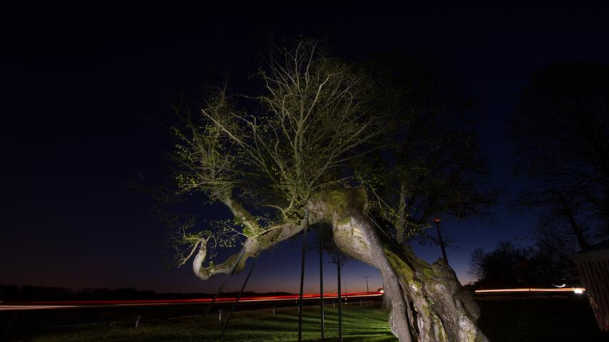 Selten, schön und unter Schutz: Im Landkreis Forchheim gibt es 34 Bäume, die einzeln oder als Baumgruppe bei der Unteren Naturschutzbehörde als Naturdenkmal gelistet sind. Hier haben wir eine Auswahl zusammengestellt.