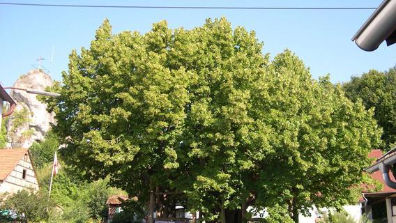 Diese Bäume im Landkreis Forchheim sind ein Naturdenkmal