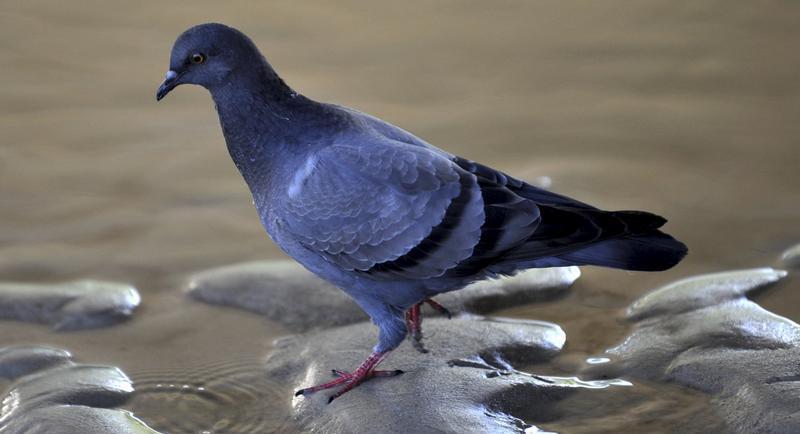 Das bestehende  Fütterungsverbot reicht nicht aus, um die steigende Zahl der Tauben in Nürnberg zu beschränken, meint ÖDP-Stadtrat Schrollinger.