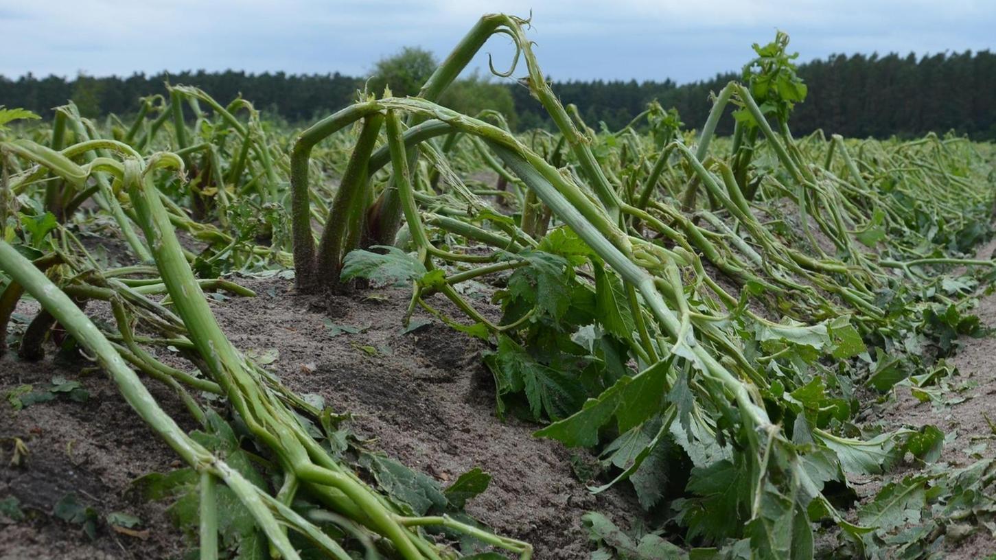Engelwurz ist eine bewährte Heilpflanze. Doch auch sie musste sich dem Unwetter vom Montagabend buchstäblich beugen.